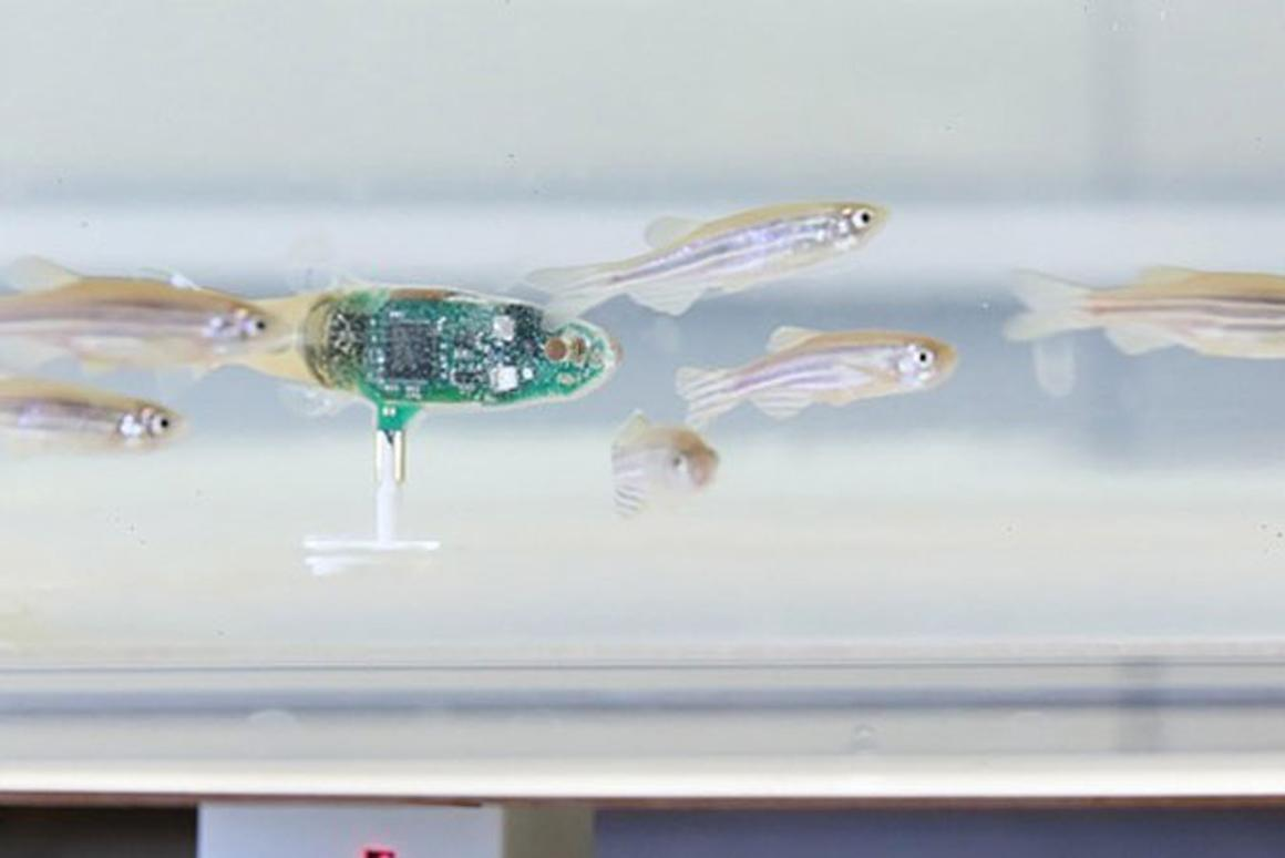 The robotic zebrafish goes undercover