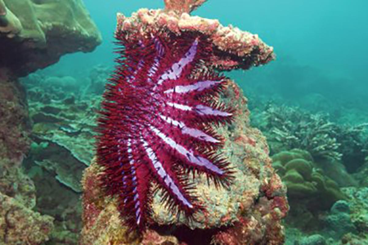 The researchers say this type of approach could be used to clamp down on invasive species other than the crown-of-thorns starfish