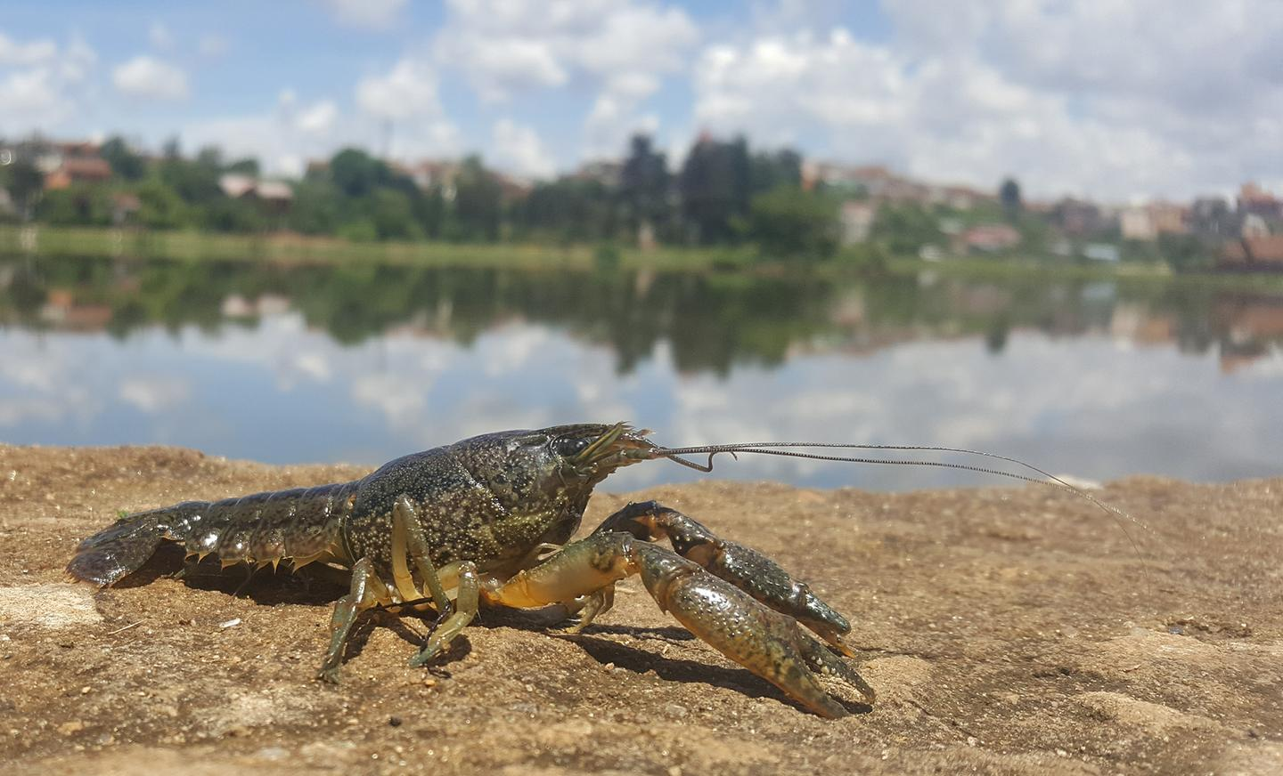In Madagascar, the populations of marbled crayfish have increased dramatically due to excessive asexual reproduction