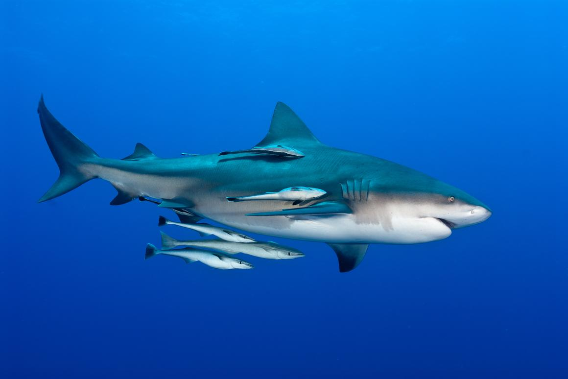 A group of remoras, freeloading off a bull shark (Photo: Shutterstock)