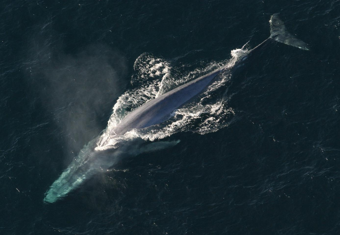 Scientists have captured the first ever heart rate data of a blue whale
