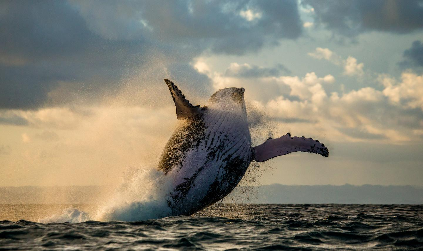 The researchers say that whale songs are one of the most striking examples of social learning in non-human animals