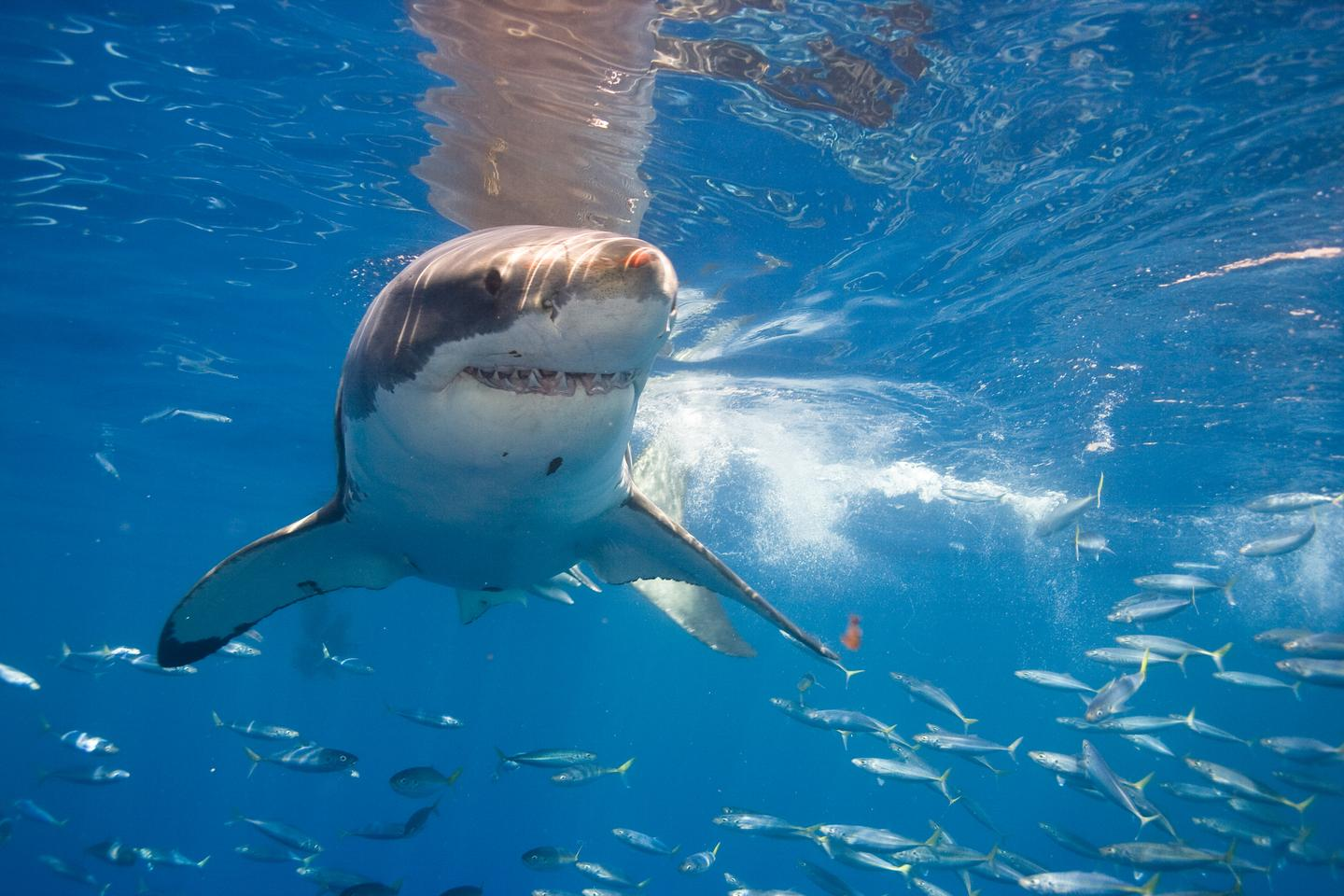 Sharks such as great whites may not like being tagged, but it beats being culled (Photo: Shutterstock)