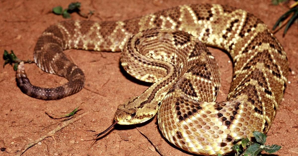Rattlesnake venom compound points to promising new painkiller