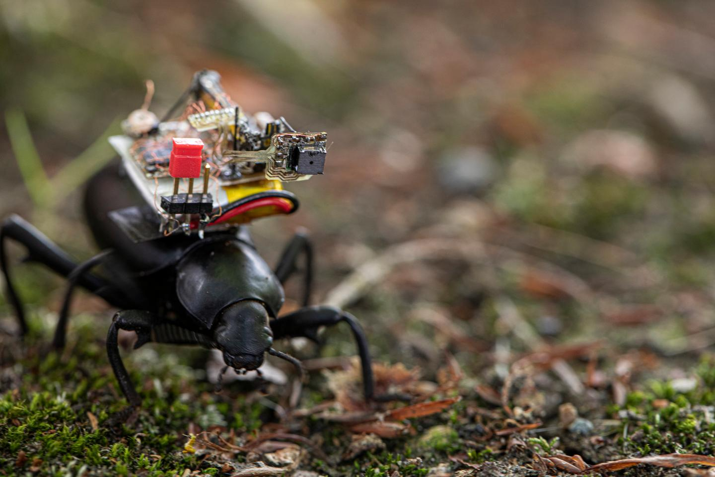 A beetle dons an electronic backpack containing a tiny camera