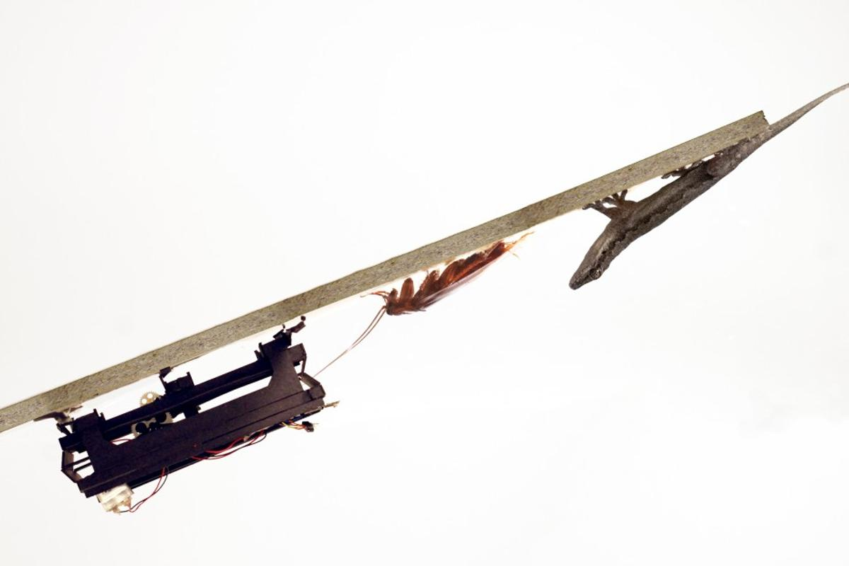 The DASH robot, a cockroach and a gecko are all capable of running to the edge of a ramp, and flipping themselves onto its underside
