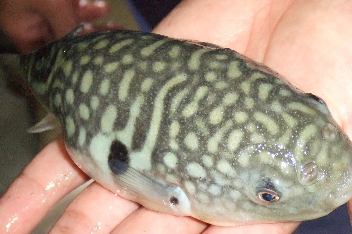 A Takifugu obscurus pufferfish ... prepare it with care