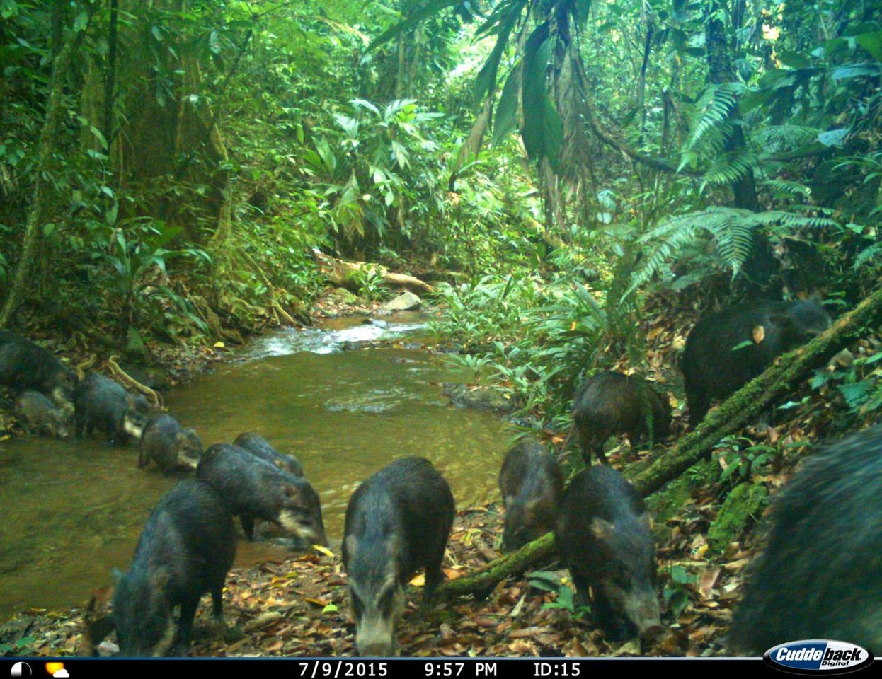 A thriving population of white-lipped peccaries was discovered in Honduras, which are struggling elsewhere on the continent thanks to deforestation
