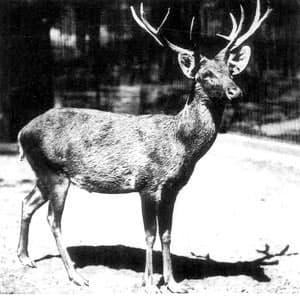 A file photo of a Schomburgk's deer, taken in the Berlin Zoo in 1911