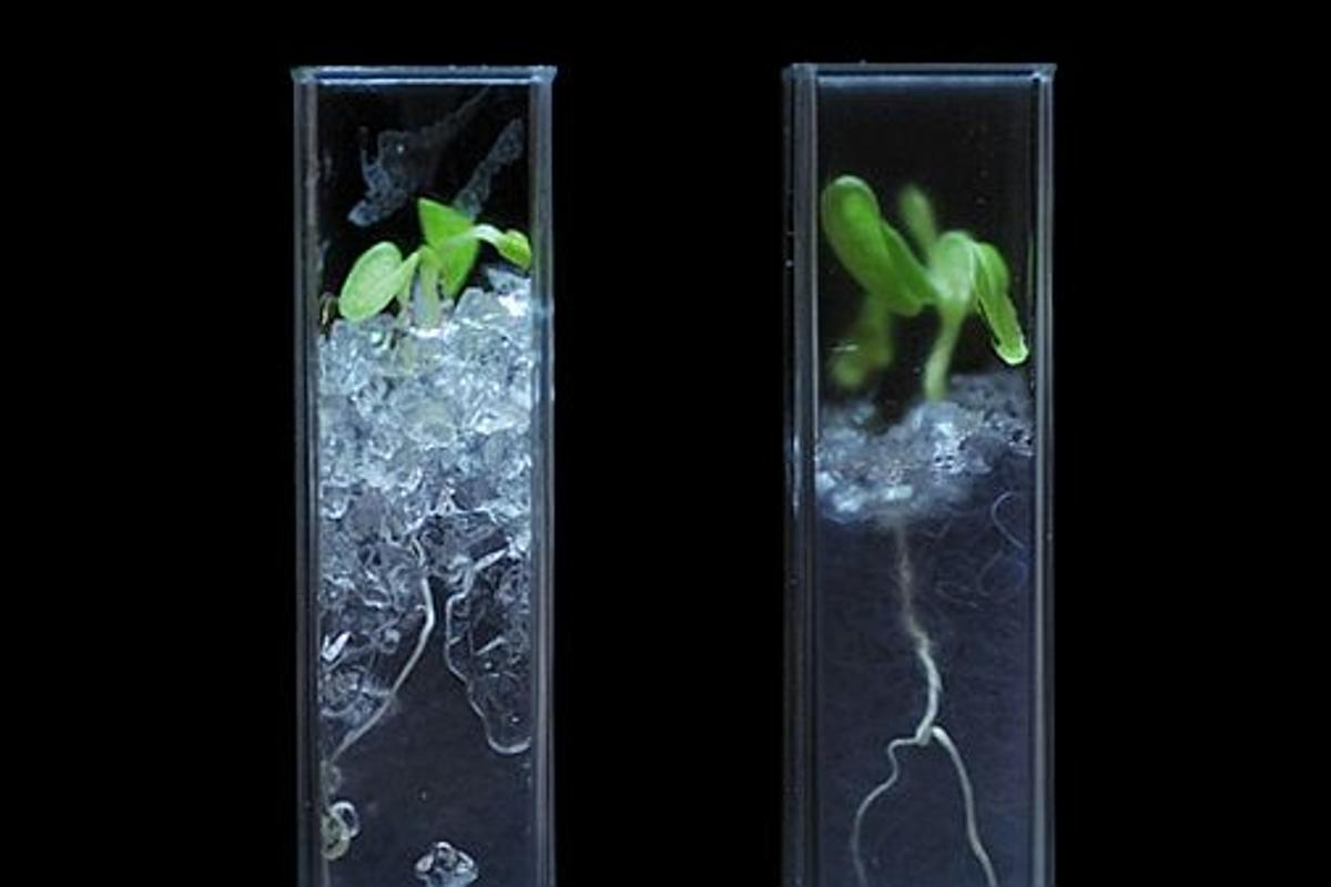 Lettuce grown in transparent soil developed by researchers at the James Hutton Institute and the University of Abertay Dundee in Scotland