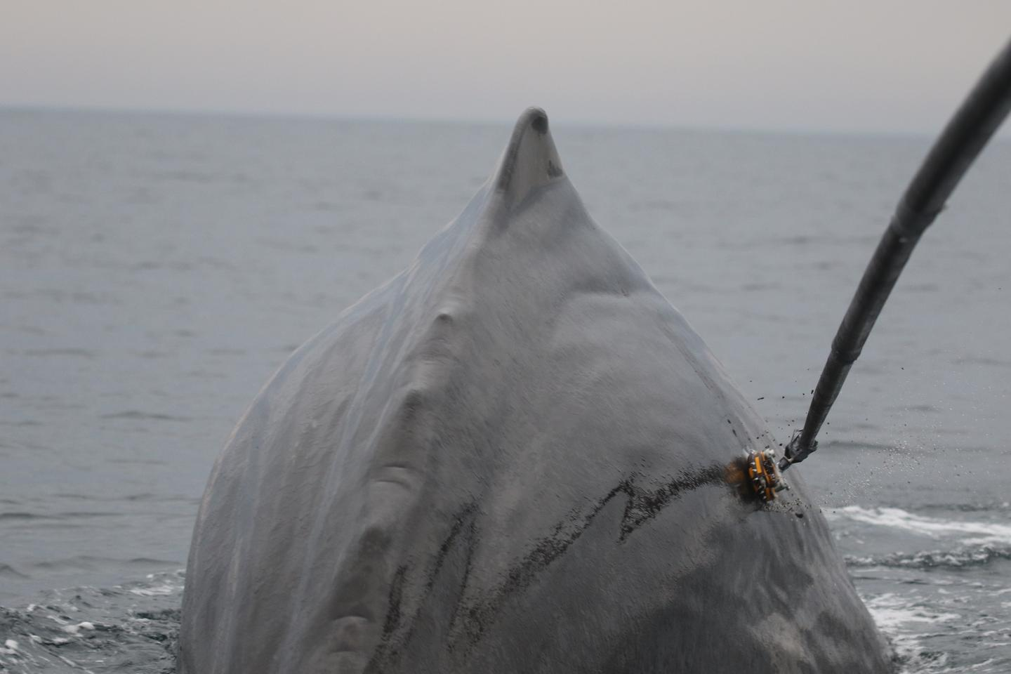 One of the suction-cup data loggers is temporarily attached to a sperm whale