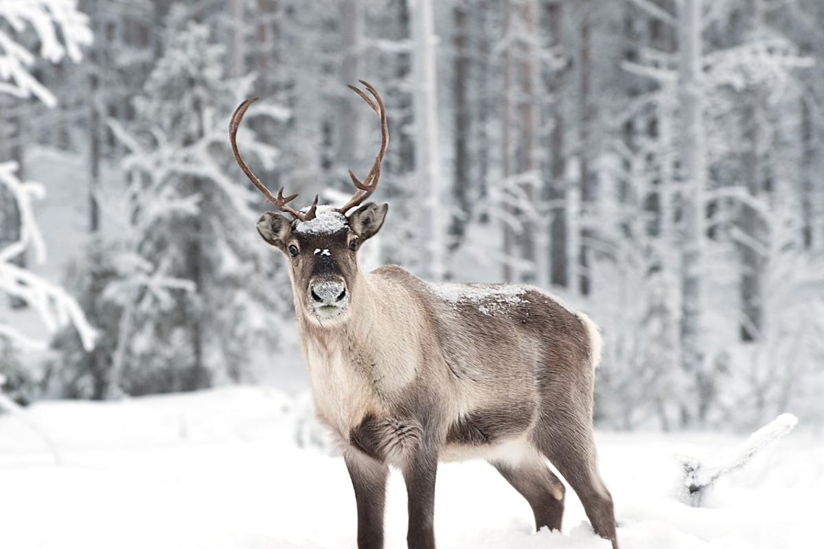 Reindeer could be at risk of catastrophic die-off on the Norwegian archipelago of Svalbard, scientists say
