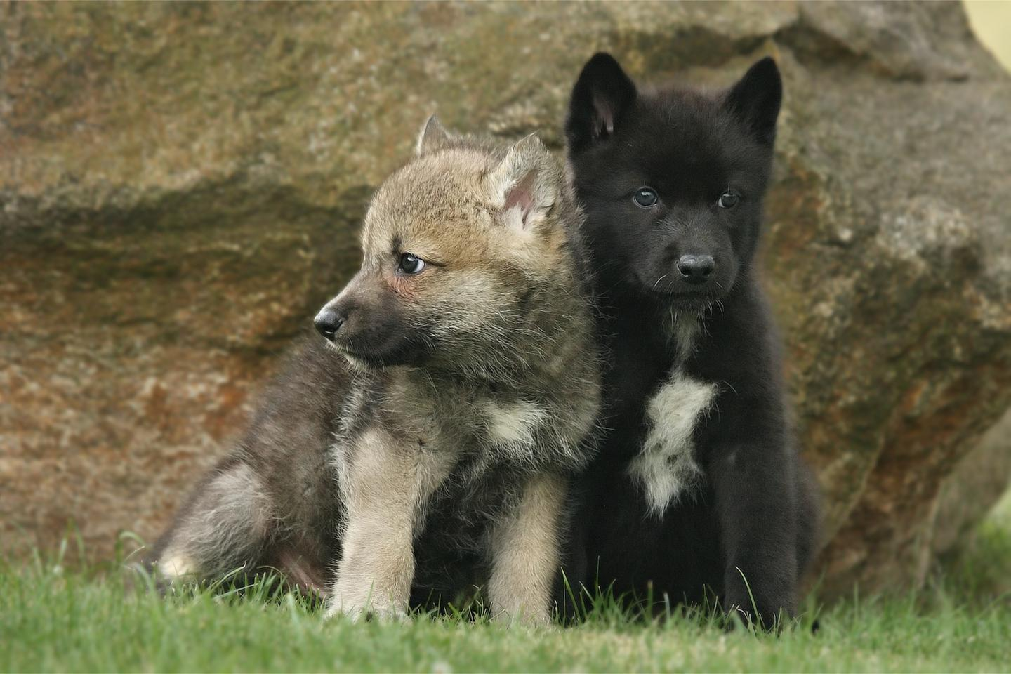 Scientists were left with goosebumps after making the unexpected discovery that some wolf puppies can naturally fetch an object
