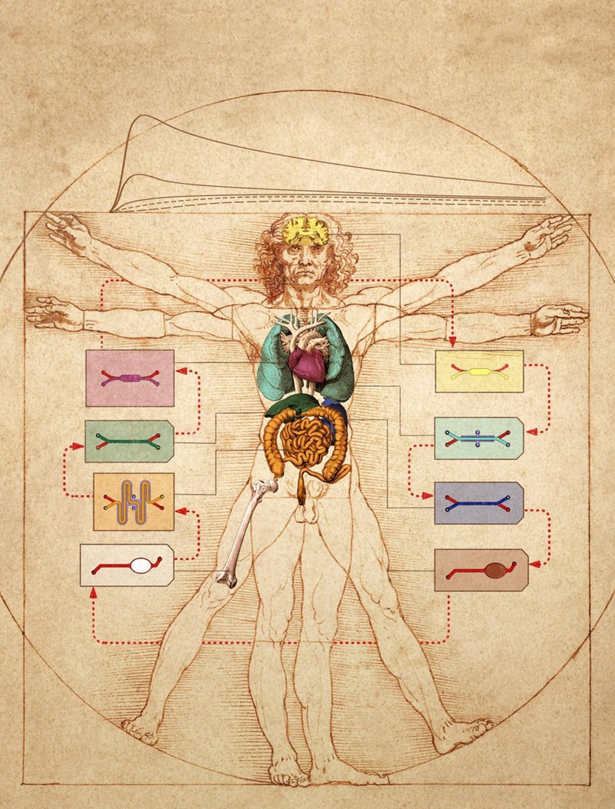 "The Wyss Institute's human Body-on-Chip system layered over the top of Leonardo da Vinci's ""Vitruvian Man"""