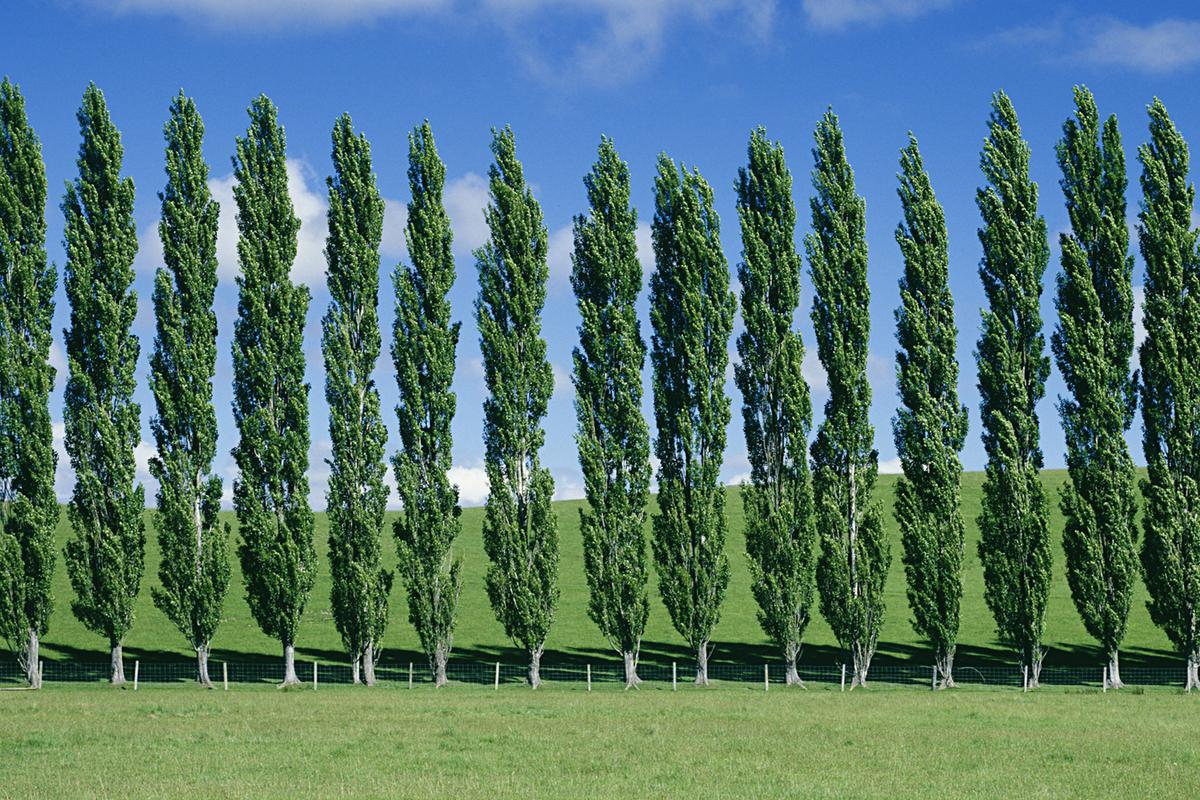 Scientists have boosted the growth rate and size of the already fast-growing poplar tree (Photo: Shutterstock)