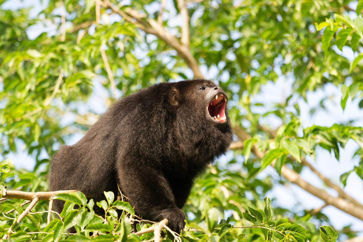 Howler monkeys are among the species the researchers used to train the system (Photo: Anton Ivanov/Shutterstock)