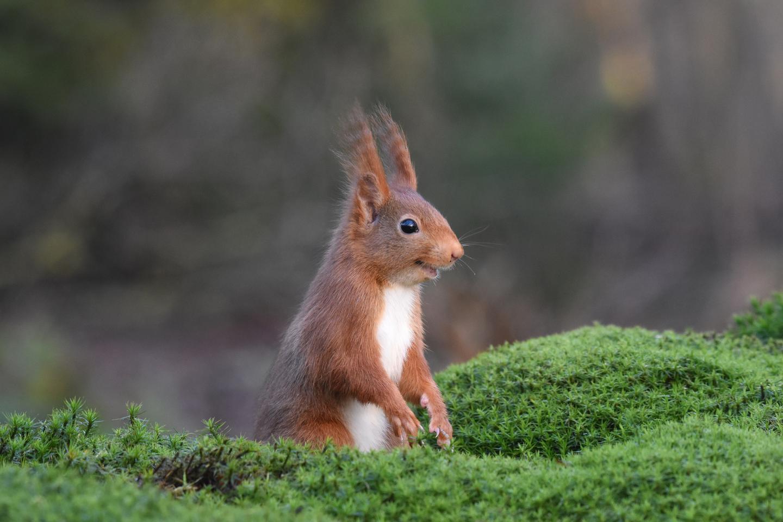 Bronze - Animal Portraits. 'The Inside Joke'. Eurasian red squirrel. Espelo, the Netherlands