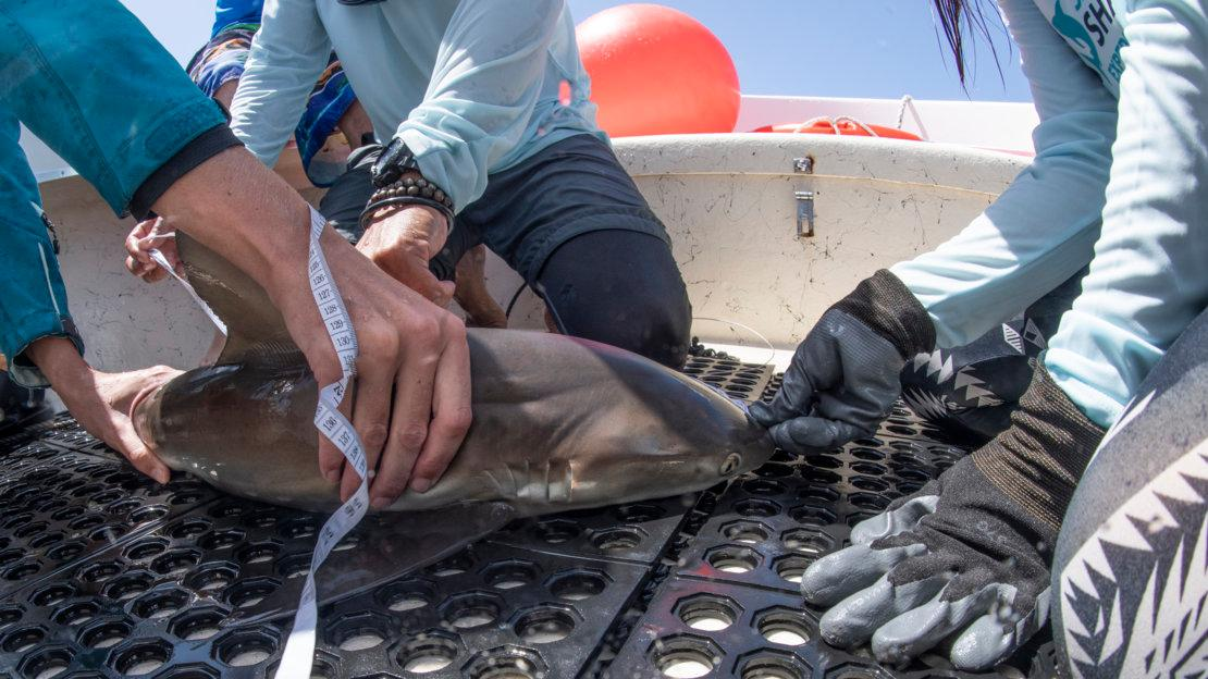 A Caribbean reef shark is measured on deck