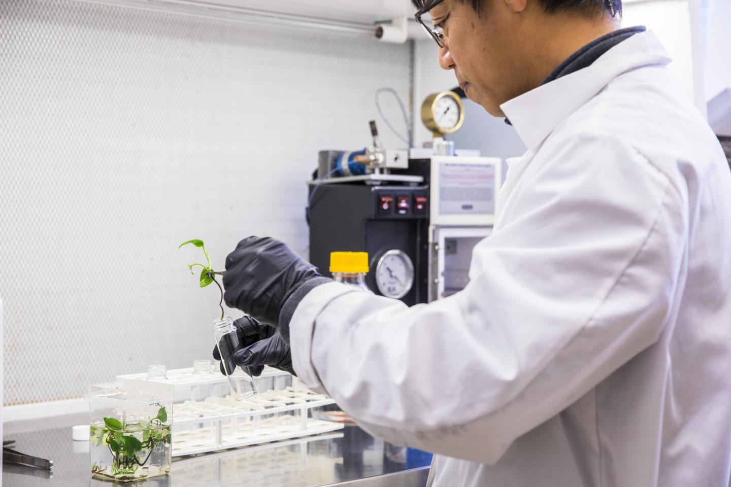 Research scientist Long Zhang puts a pothos ivy plant into a glass tube to test its ability to break down benzene or chloroform