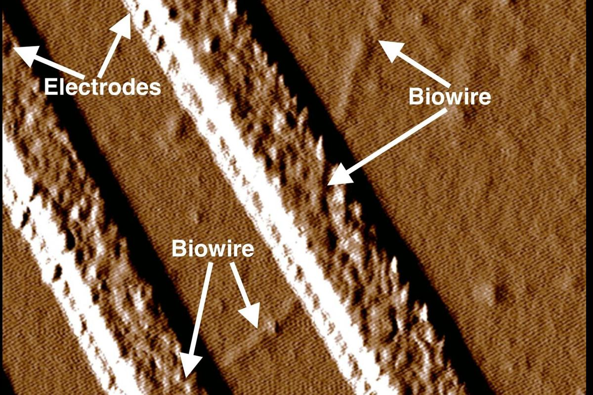The tiny conductive wires produced by the researchers are some 60,000 times thinner than a human hair