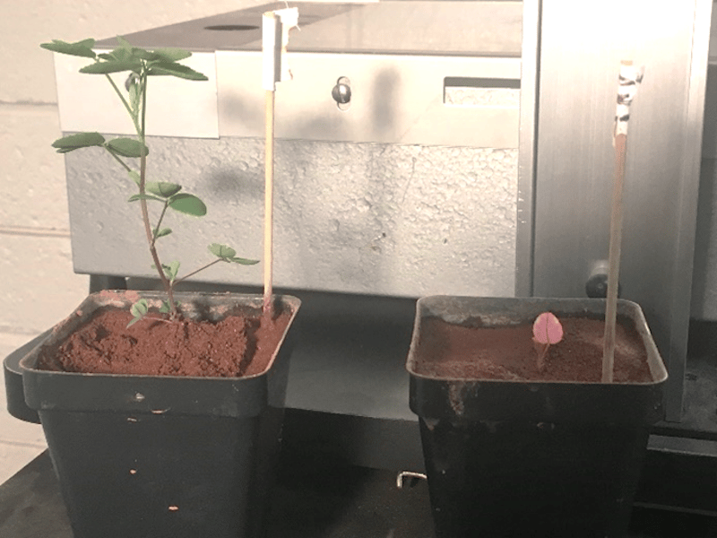 Clover plants grown in simulated Martian soil fare much better when paired with a nitrogen-fixing bacteria (left) than without (right)