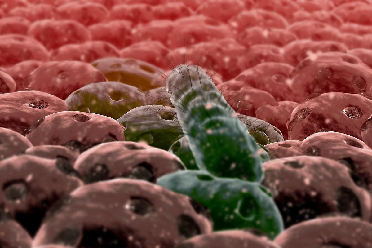 Researchers have studied how the E. coli bacterium changes its gene expression when it latches onto cells in the intestinal wall, and begins to attack the host