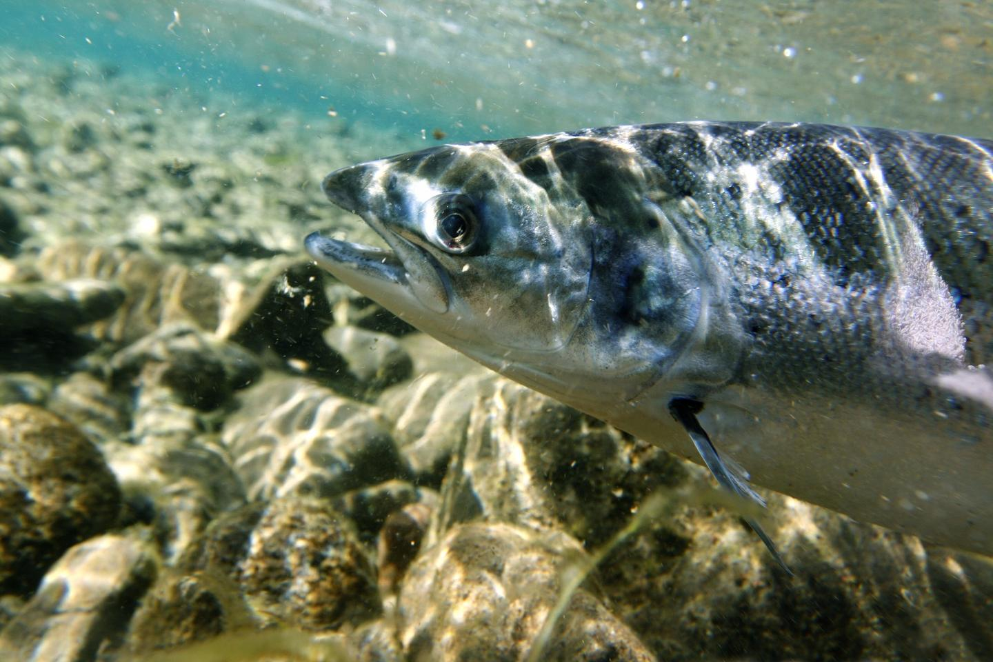The FDA has approved a genetically modified Atlantic salmon for human consumption