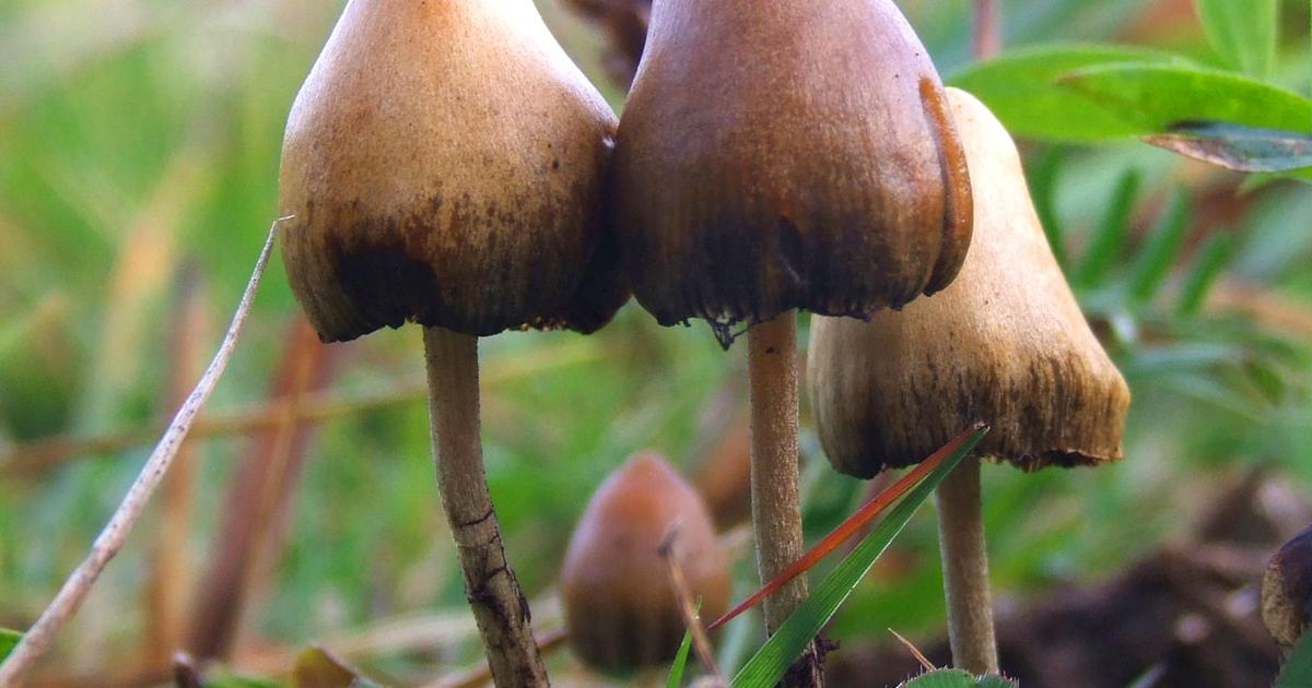 New psilocybin trial data explores group psychedelic sessions