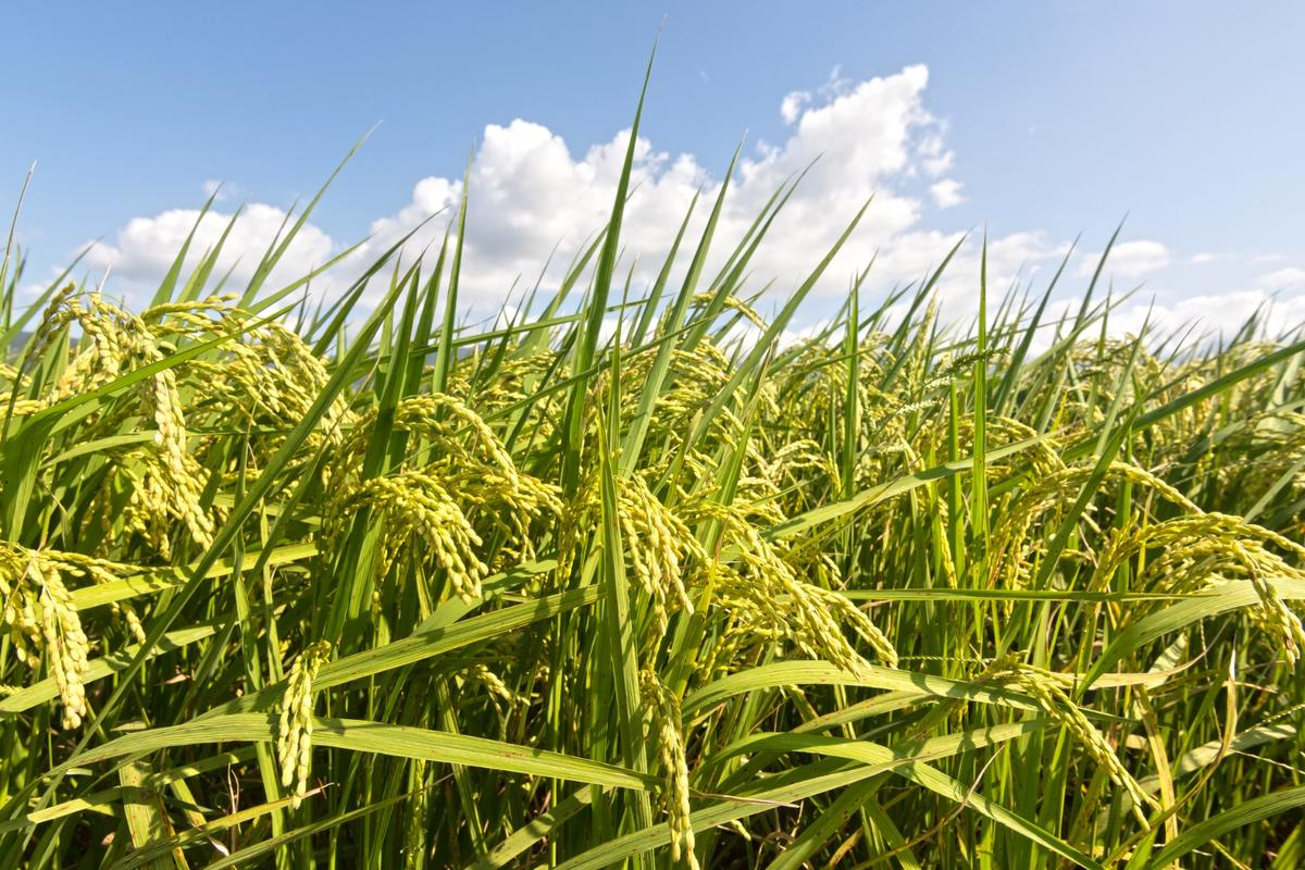 Japanese researchers have found a way to edit the mitochondrial DNA of plants for the first time, curing infertility in rice and canola