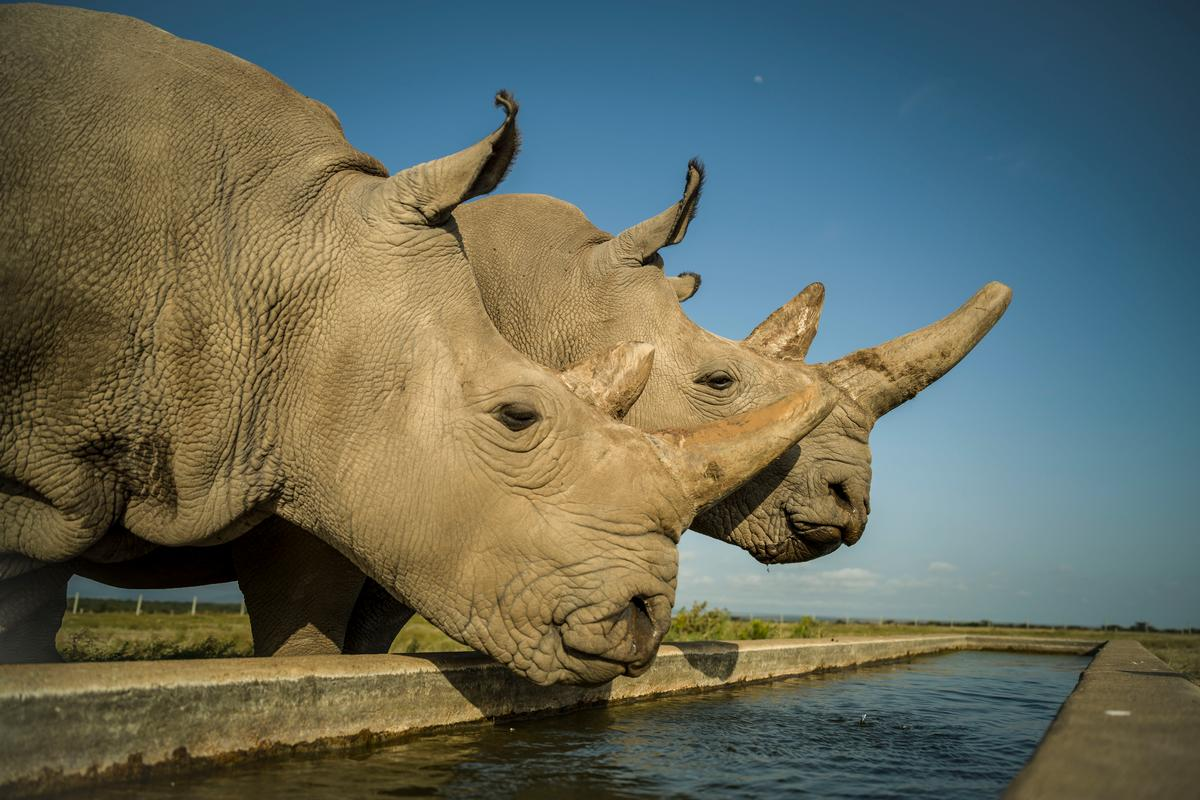 Najin (left) and Fatu (right) are the last two northern white rhinos on the planet