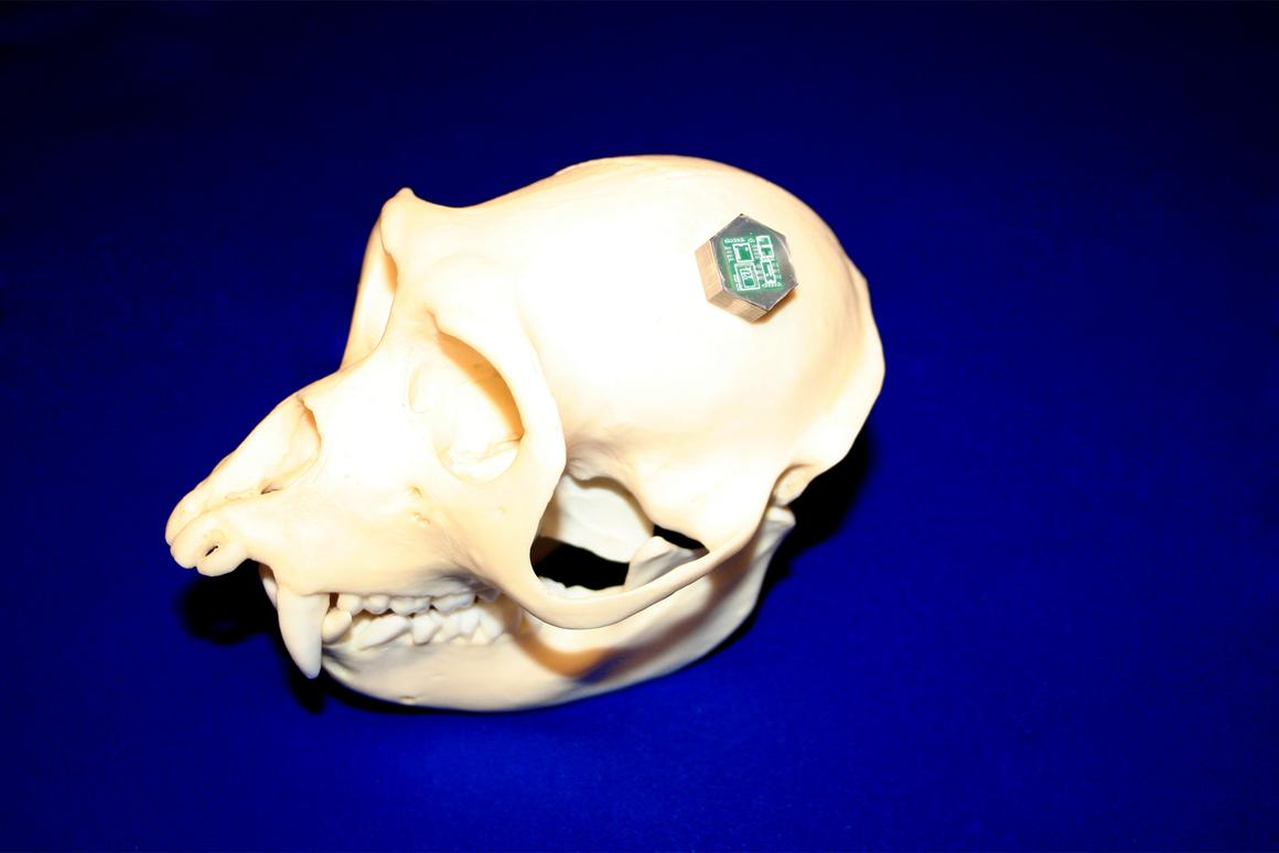 The BioBolt (seen here on a primate skull) is a prototype implant that could be used to wirelessly transmit neural signals from the brain to formerly-paralyzed limbs (Photo: University of Michigan)