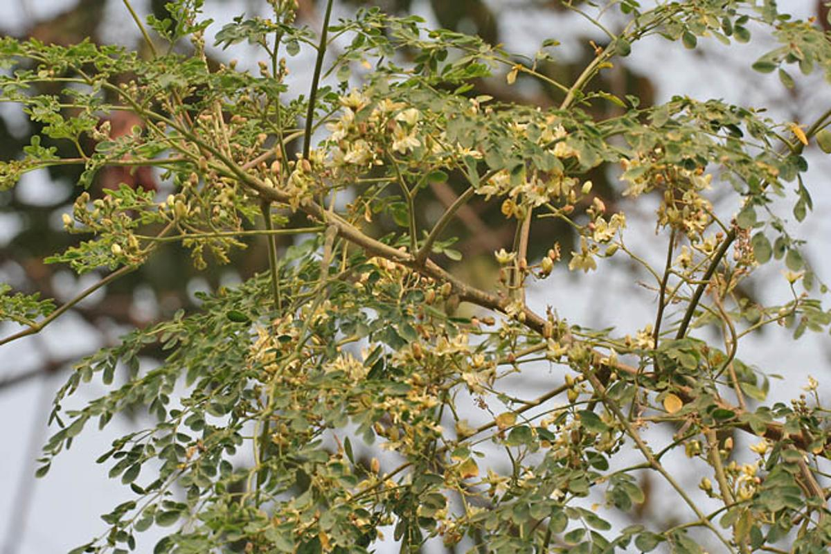 The Moringa tree, the seeds of which could purify drinking water for countless people around the world