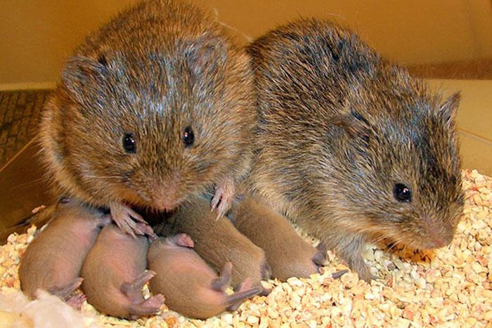 Since they mate for life, prairie voles make great test subjects to study monogamy and pair bonding