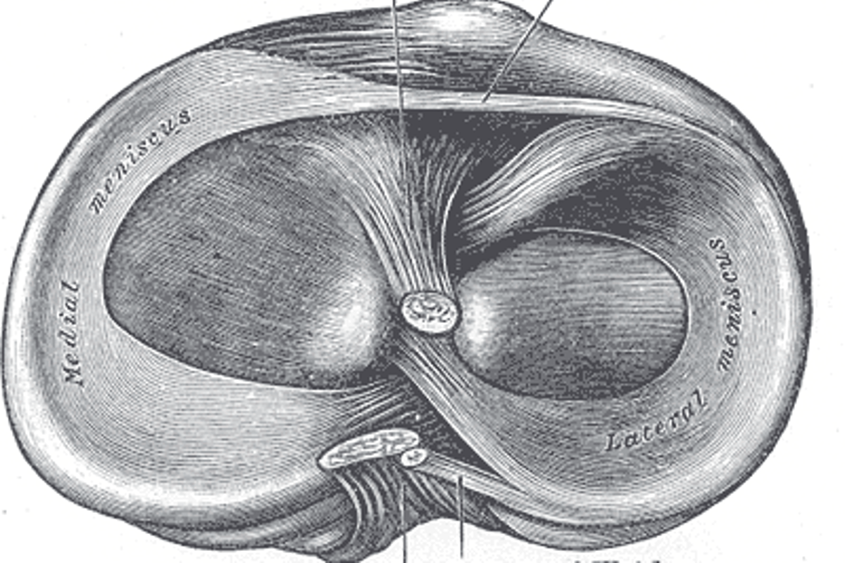 Knee cartilage anatomy: the source of many problems for osteoarthritis sufferers (Image: Gray's Anatomy)