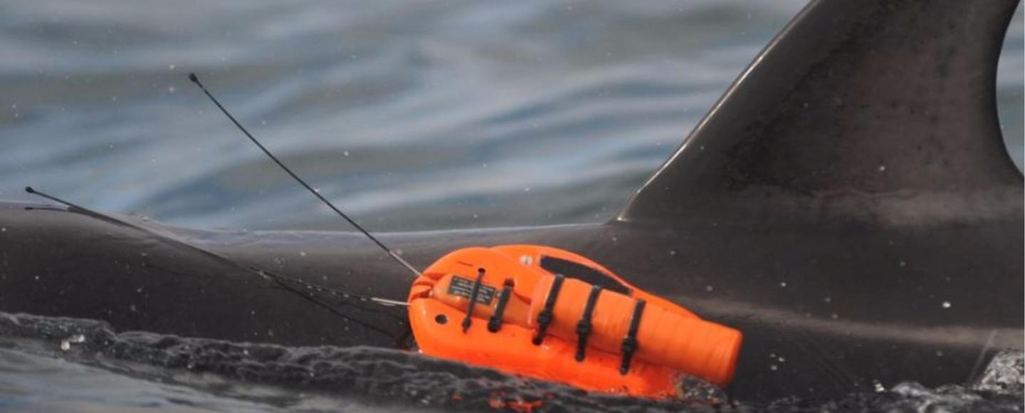 A special camera was designed to be non-invasive as it rode along on the dolphins for several hours