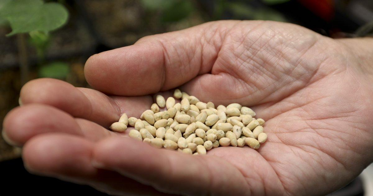 Newly-developed edible cotton seeds are packed with protein – not poison
