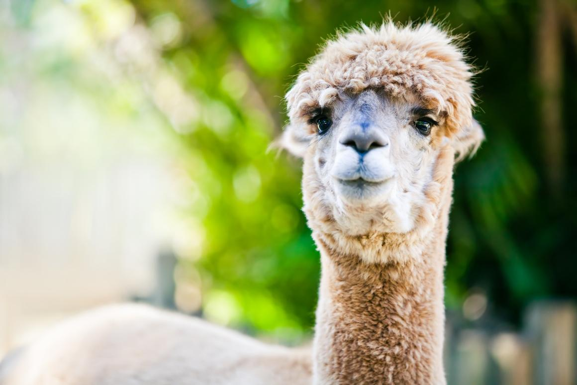 The alpaca's immune system was found to produce a unique type of antibody that could direct scientists towards a new cancer treatment