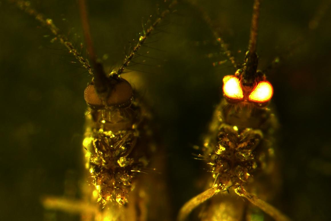 Genetically engineered mosquitoes developed by scientists in Australia
