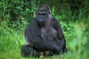 Population numbers of the eastern lowland gorilla have undergone a sharp decline in the Democratic Republic of Congo over the past half century