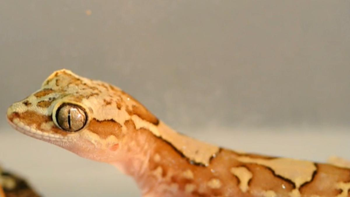 One of the box-patterned geckos used in the study (Photo: James Cook University)
