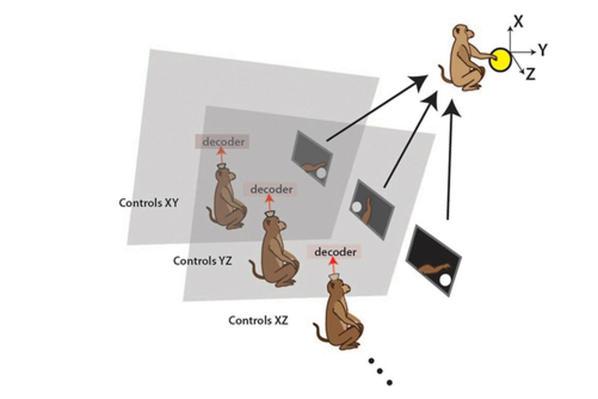 Three rhesus macaque monkeys were made to operate the arm of a virtual monkey, while seated in separate rooms with either a handheld joystick or a brain control technique using special algorithms