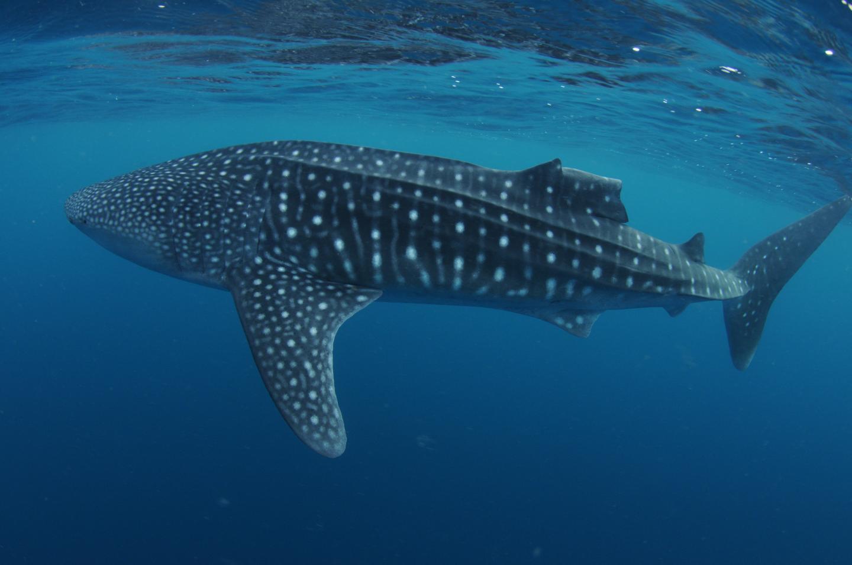 Whale shark with a damaged dorsal fin