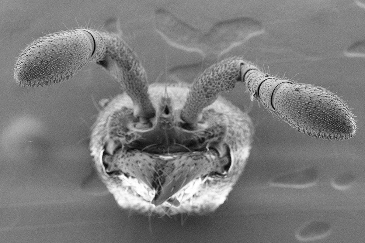 Ants detect pheromones though porous hairs on their antennae