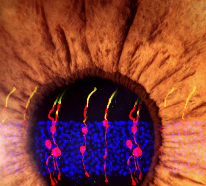 Researchers have restored vision in mice born blind by reprogramming Müller glial cells in the retina to develop into rod photoreceptors