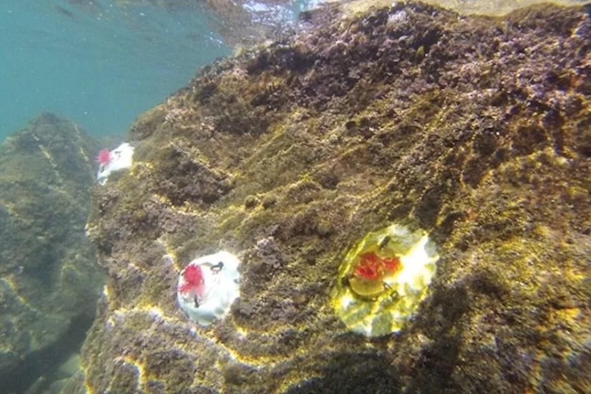 The mini reefs may play host to the same organisms which currently rely on natural coralline algae