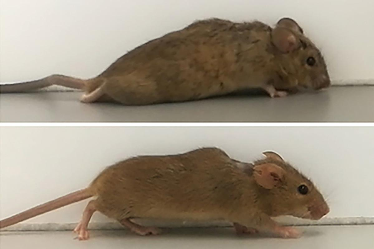 Previously paralyzed mice (top) regained their ability to walk two to three weeks after treatment