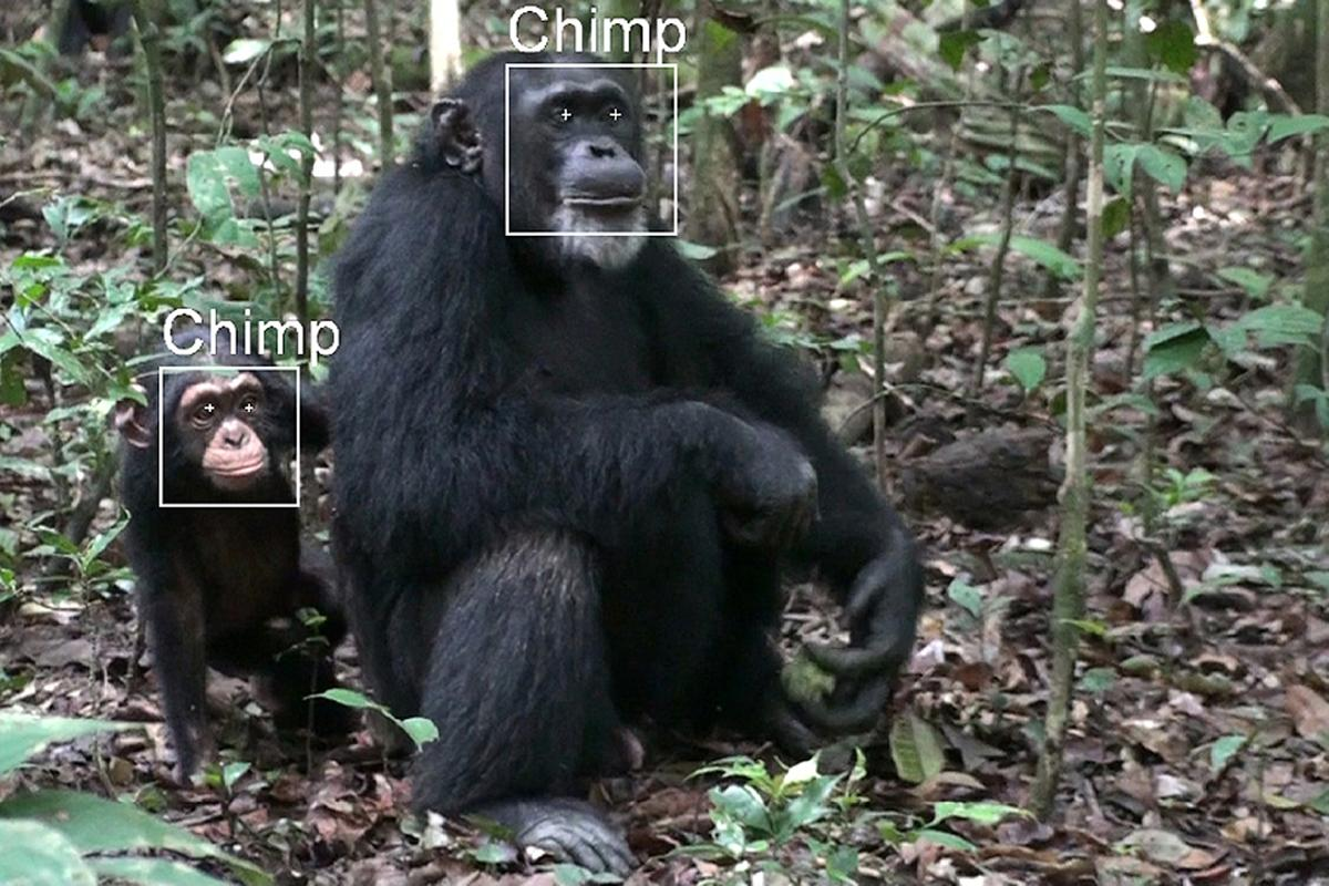 The SAISBECO project is developing facial recognition software, for the study of wild apes (Image: Fraunhofer)