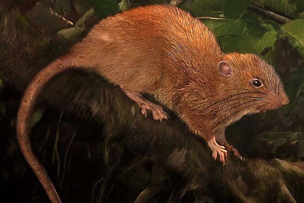 The Vangunu giant rat can weigh up to 1 kg (2.2 lb) and is big enough to crack open coconuts