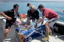 Scientists Kevin Weng                               (left) of the University of Hawaii, John                               O'Sullivan (middle) of the Monterey Bay                               Aquarium, and Chris Lowe (right) of                               California State University Long Beach tag                               a juvenile great white, as part of the                               study