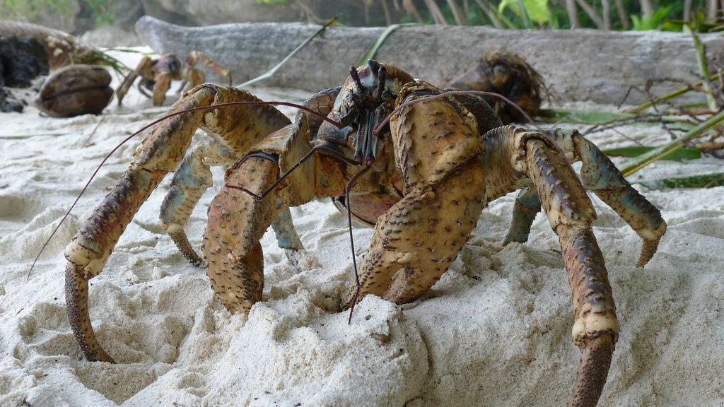 The claws of the coconut crab pack a powerful punch